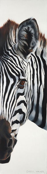 Looking at you - A fun view of a baby Zebra
